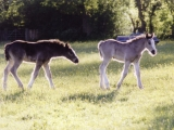 Bart and Sweep as foals