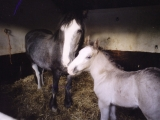 Foal Sweep with her mum Sooty